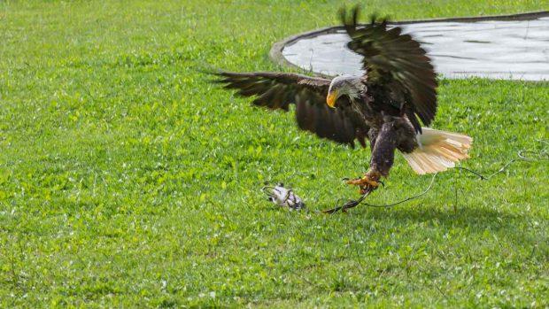 El águila cazando