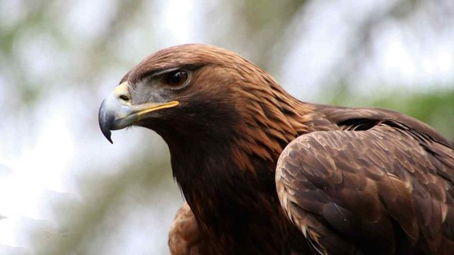 Técnica de caza del águila