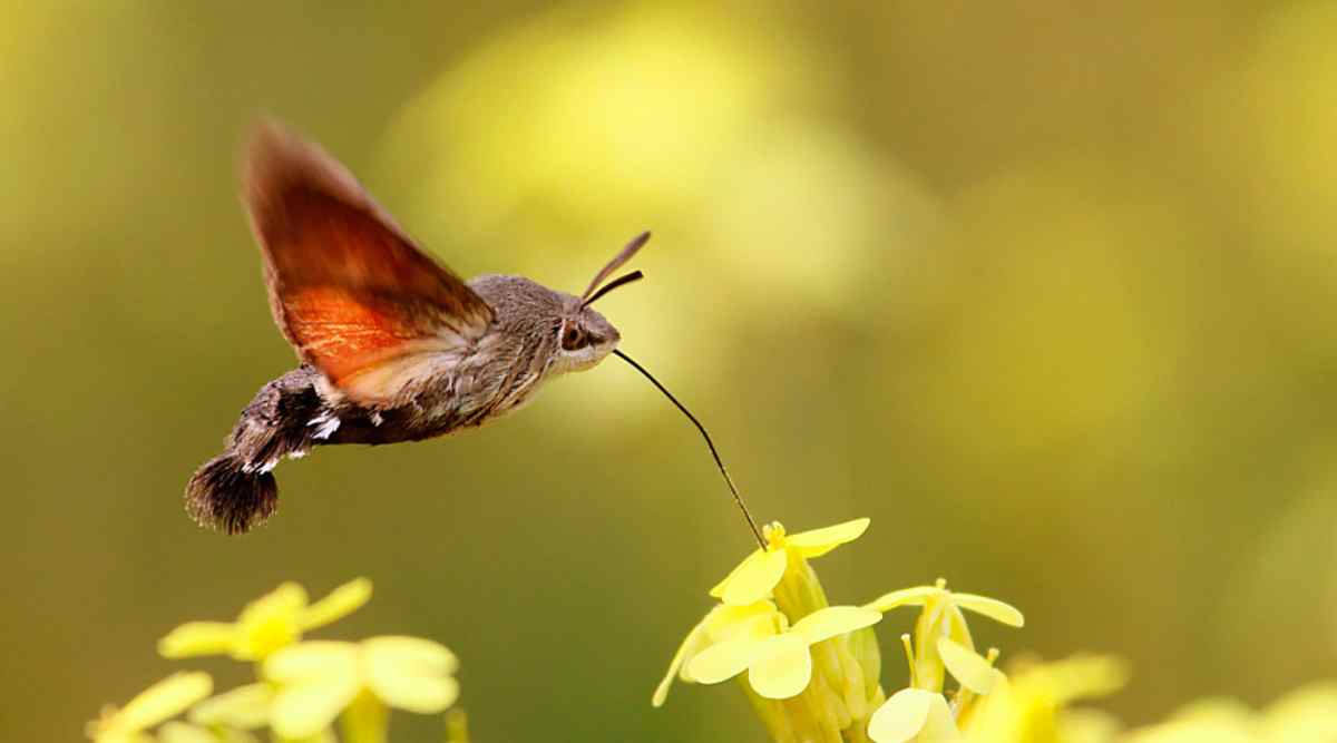 Caracteres de la mariposa colibrí