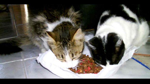 Nutrientes para gato
