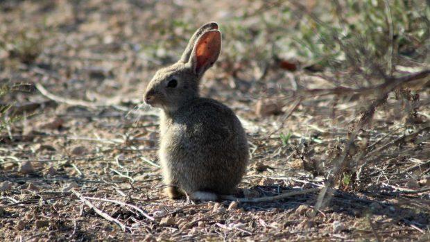 Conejos en Australia