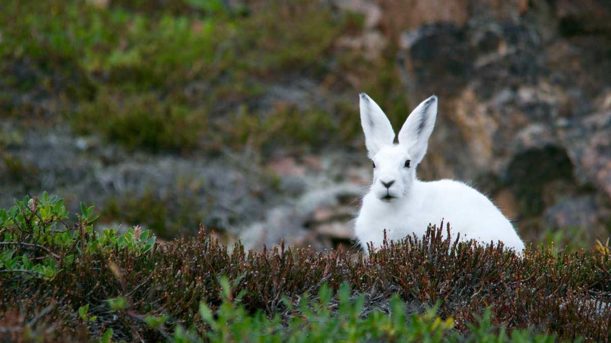 Fauna en Australia, conejos
