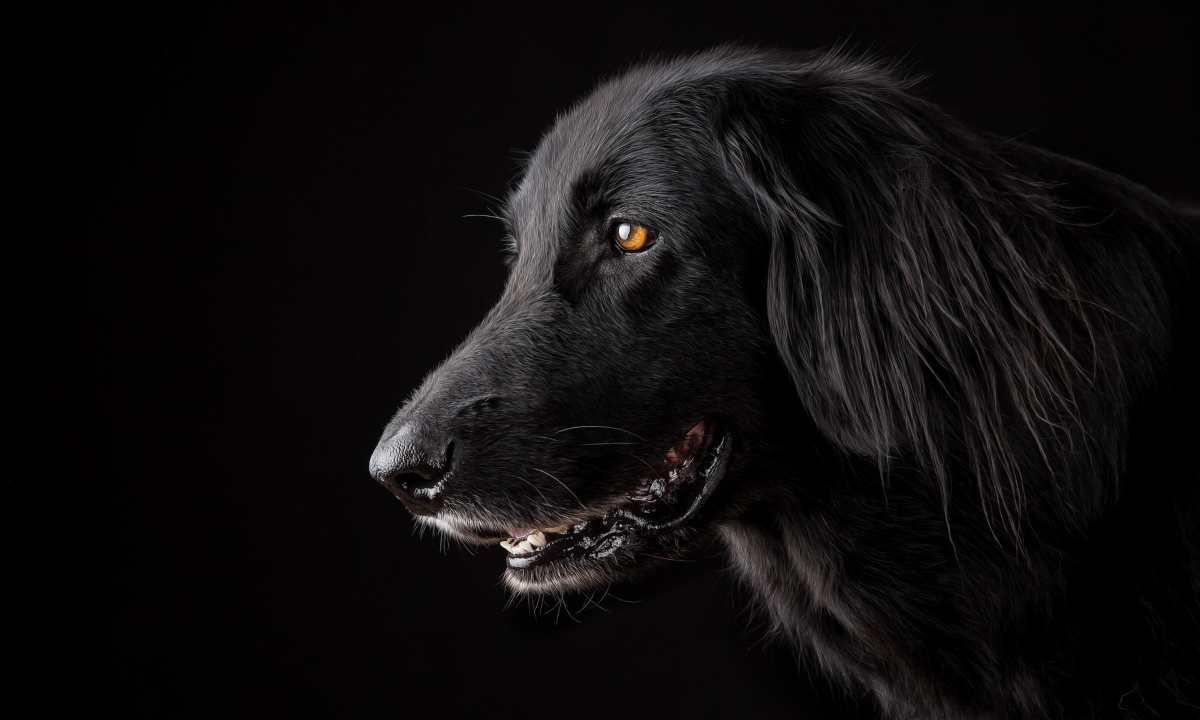 Identificar a perro de raza