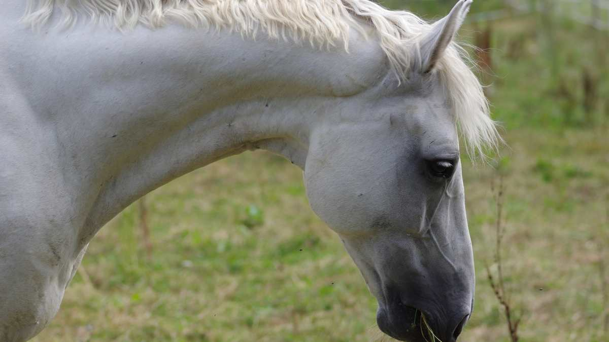 Enfermedades caballo: la tiña