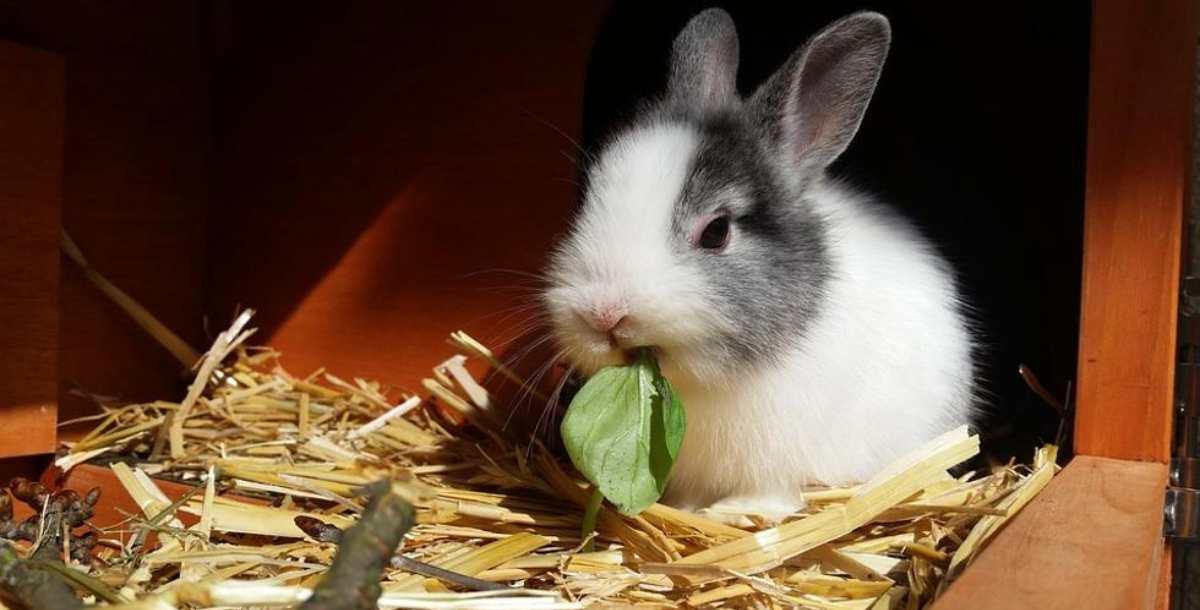 Conejos y las espinacas