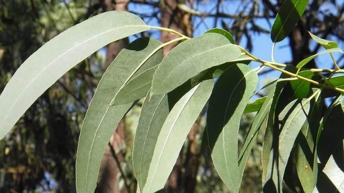 Descubre las ventajas de añadir hojas de eucalipto en la bañera