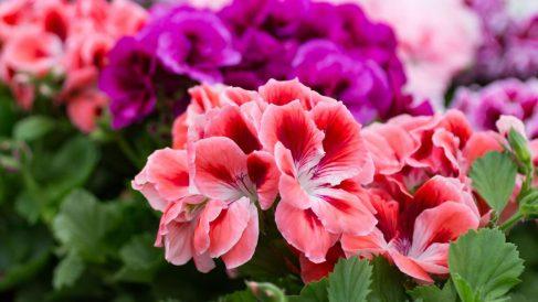Los geranios son una de las flores más bonitas y coloridas