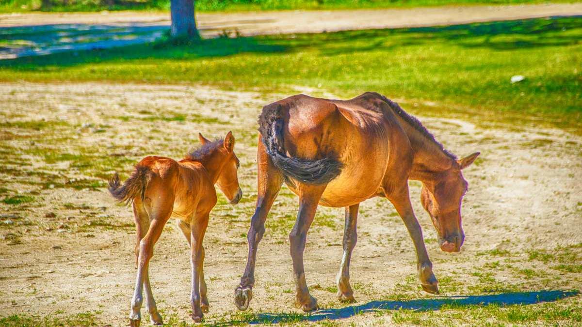 Inseminación artificial de caballos