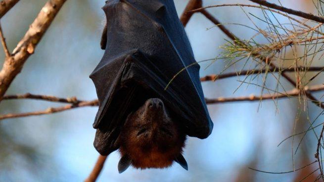 El coronavirus podría llevar hasta 70 años en los murciélagos