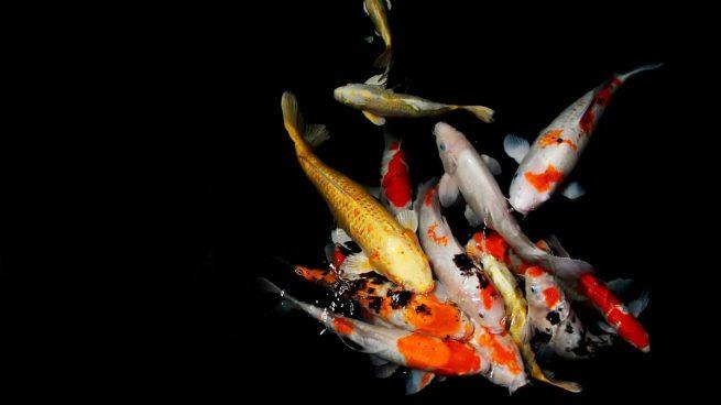 Color en peces