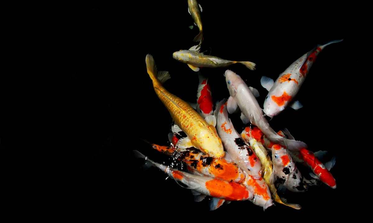 Pigmentos de colores en los peces