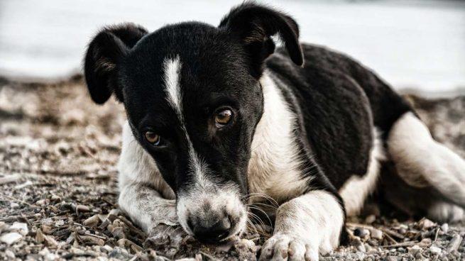 Dilofilaria en tu mascota
