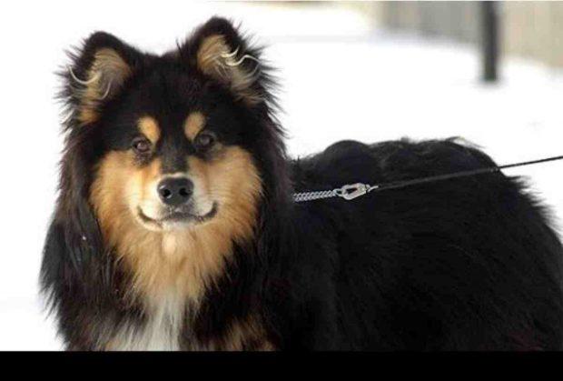 El perro pastor finlandés de Laponia