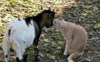Cabra enana y gato