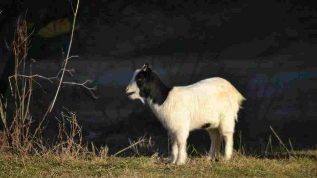 La cabra enana