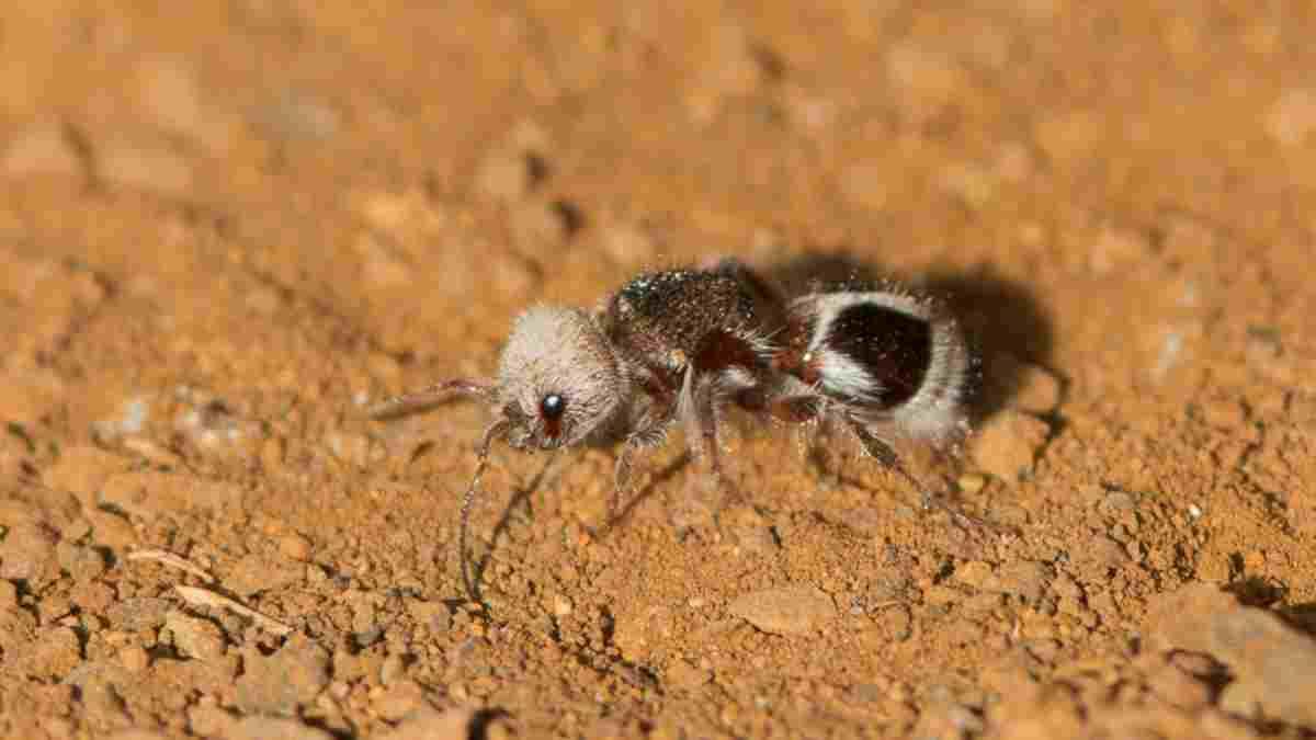Curiosidades de insectos: la hormiga panda