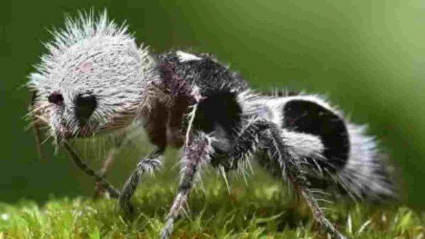 La hormiga panda