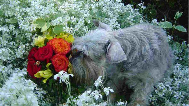 Perro huele flores