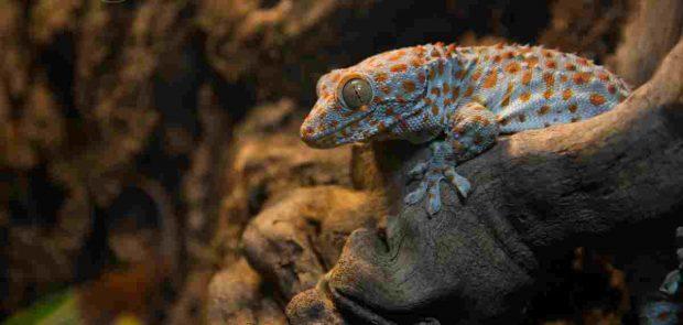 Animales curiosos: Gecko Tokay