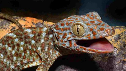 Reptiles curiosos: Gecko Tokay