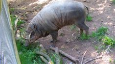 Animales curiosos salvajes: babirusa