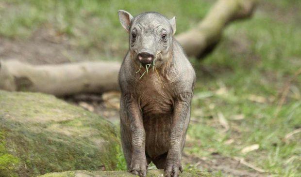 El babirusa
