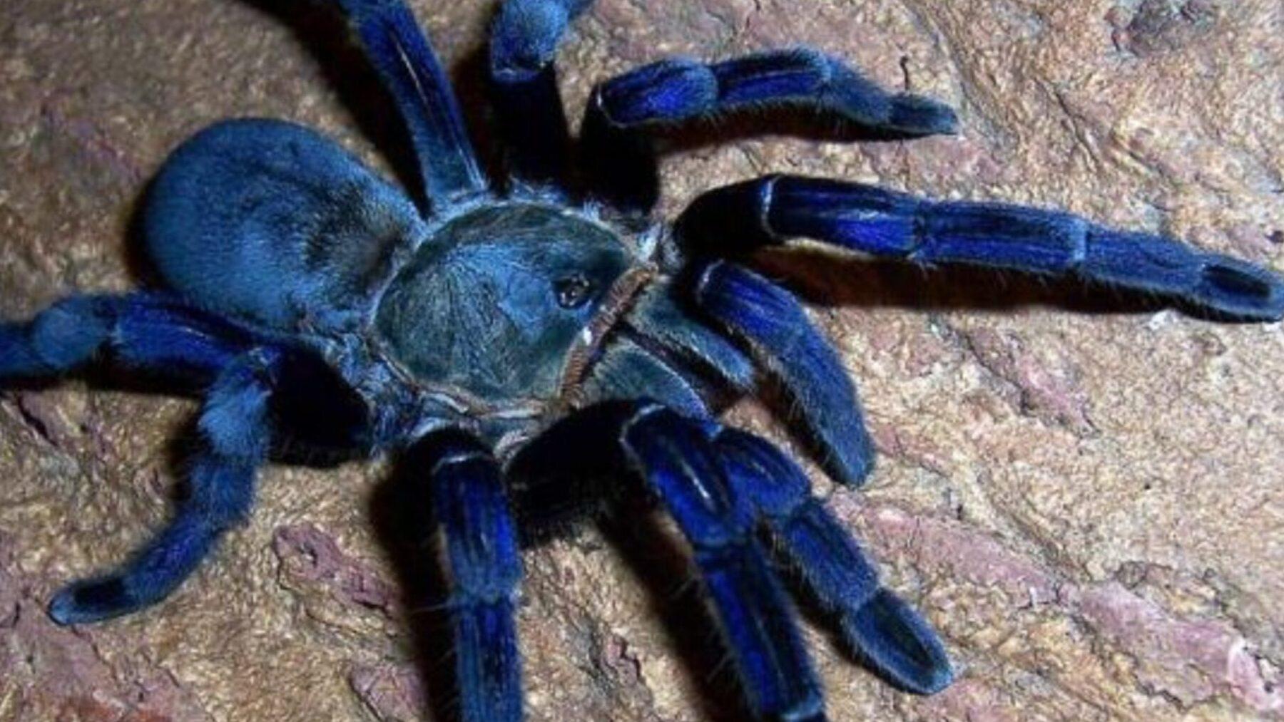 Tarántula azul
