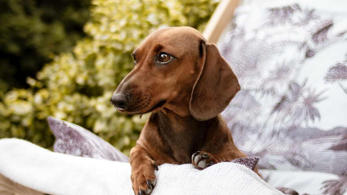 Cualidades del perro tejonero