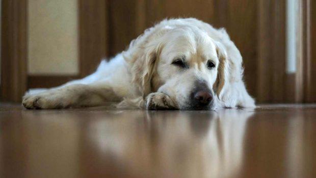 Perro labrador descansa