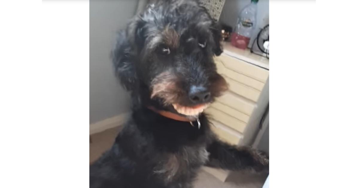 Facebook: Un perro roba y se pone la dentadura postiza de su dueña