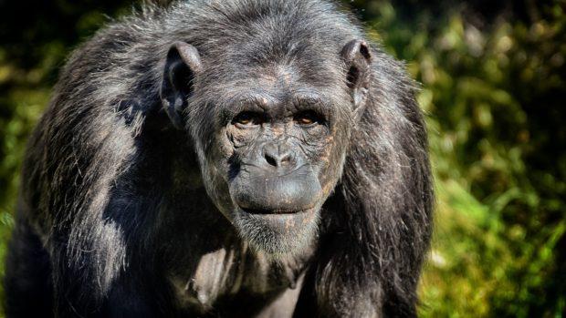 Mono con más agresividad
