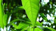 Propiedades que tienen las hojas de mango para nuestra salud