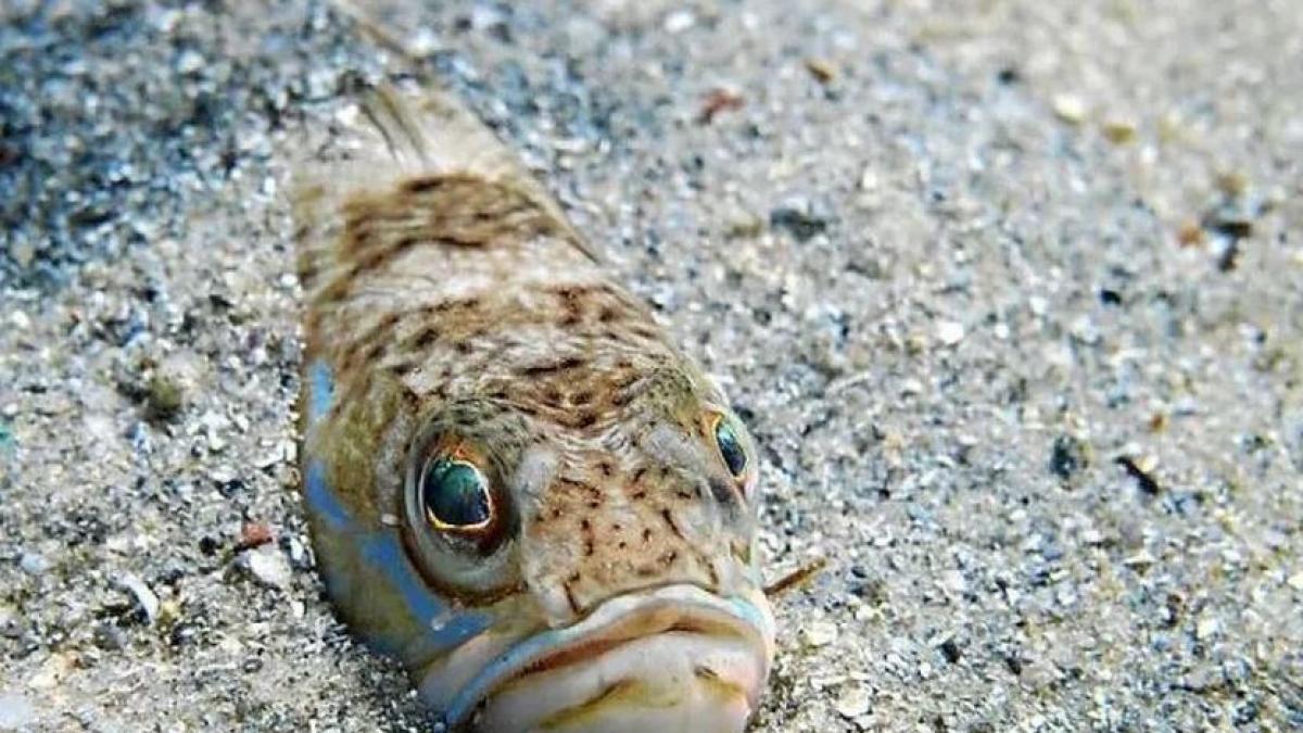Una picadura de este pez puede pasar de un simple escozor a la muerte