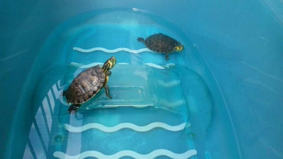 Rinitis en tortugas domésticas