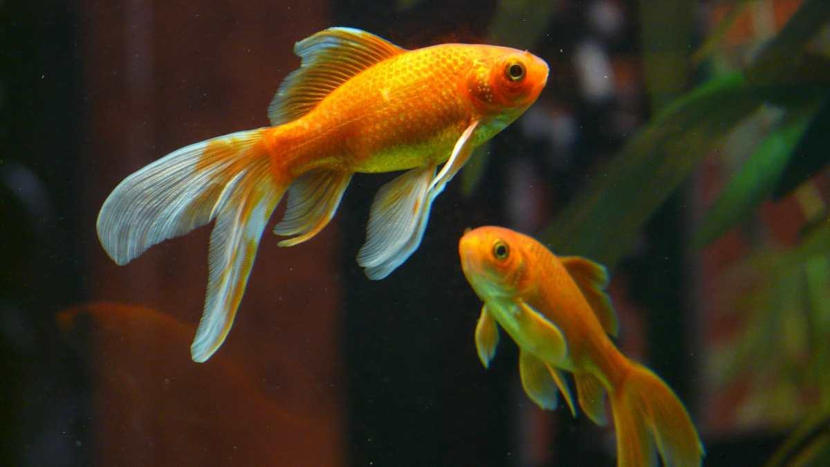 Los peces se siguen entre ellos