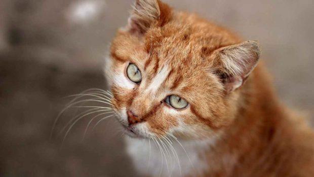 El gato naranja