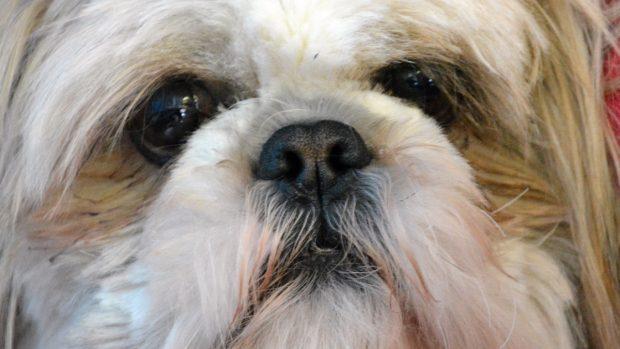 Sangrado de nariz del perro