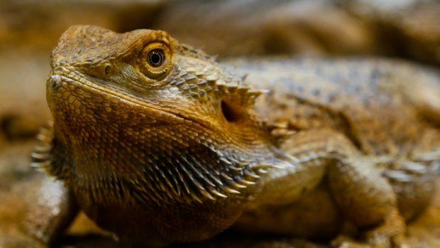 Reptil agame barbudo