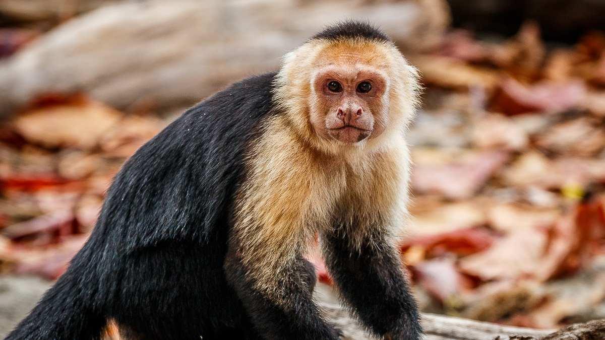 Monos curiosos, el cariblanco