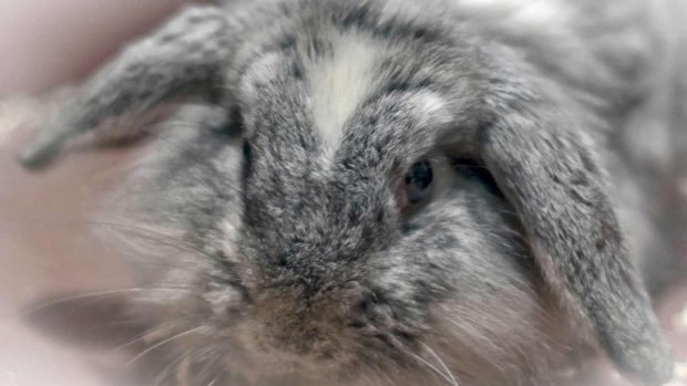 Esterilizar a tu conejo
