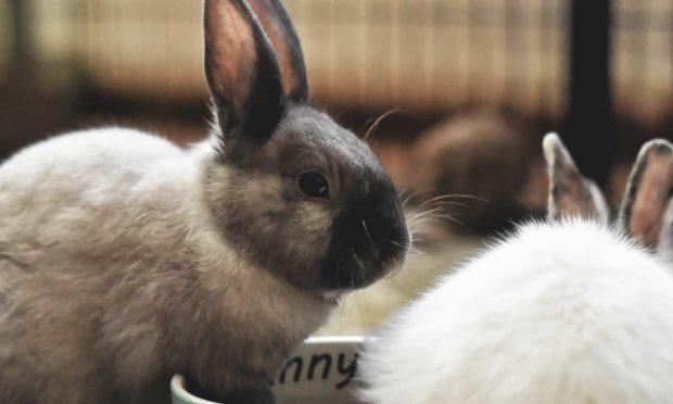 Agresividad entre conejos