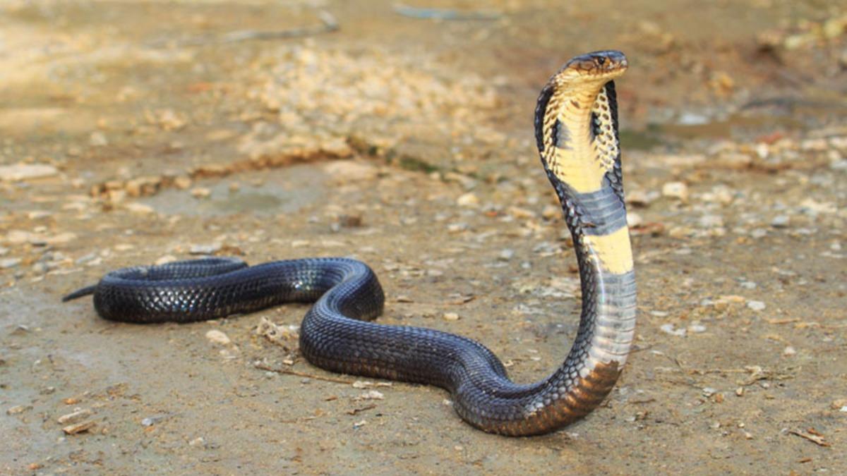 Cobre Real, una de las serpientes más venenosas del mundo