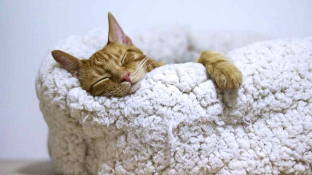 Gato con tripa hinchada