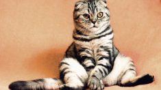 Los mejores remedios naturales para el resfriado del gato