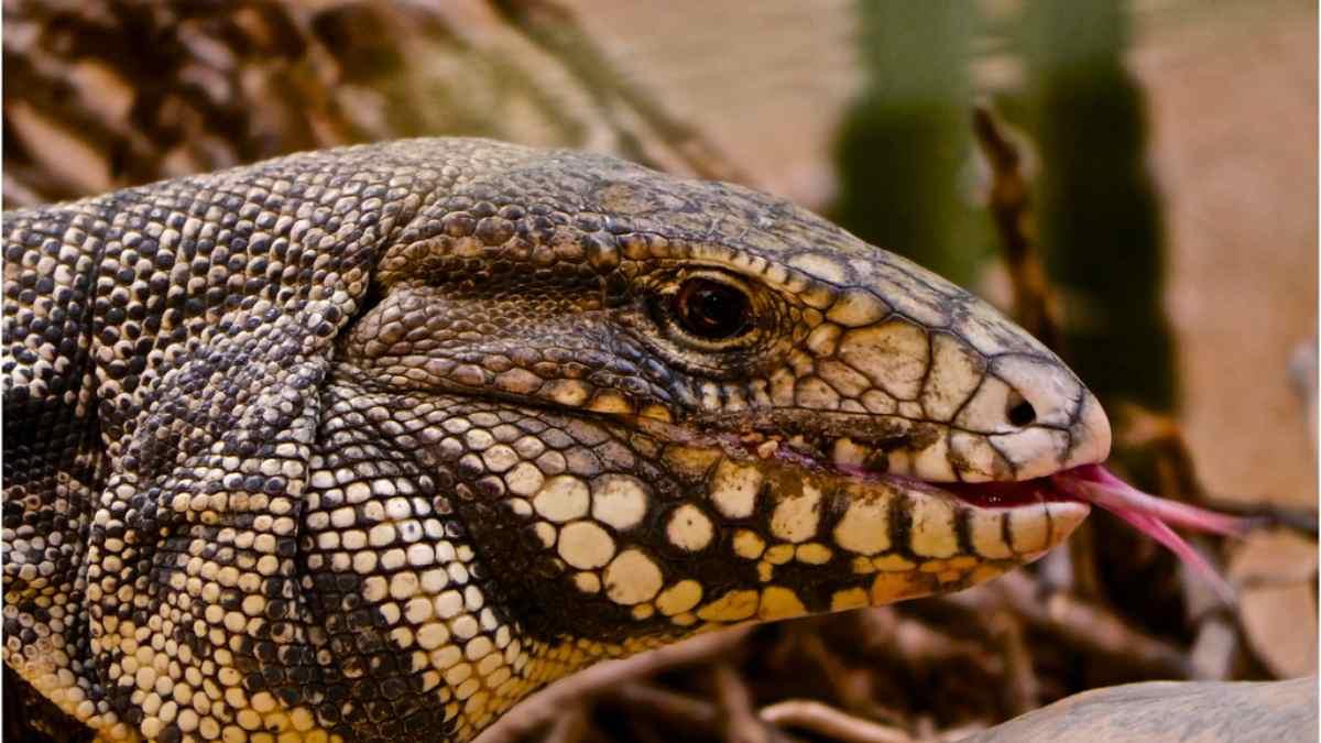 Curiosidades animales: el lagarto tegu