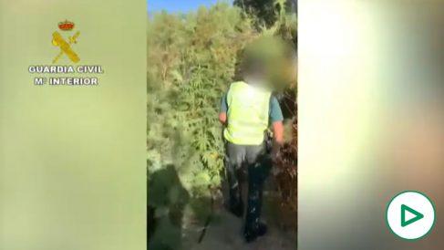 Tres guardias civiles recibidos a tiros tras descubrir una plantación de marihuana.