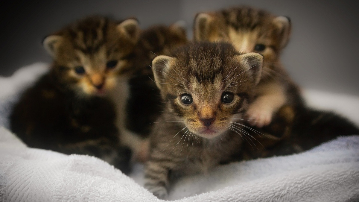 Pasos para alimentar a un gato recién nacido