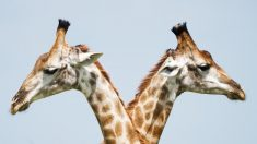 5 datos interesantes sobre las jirafas