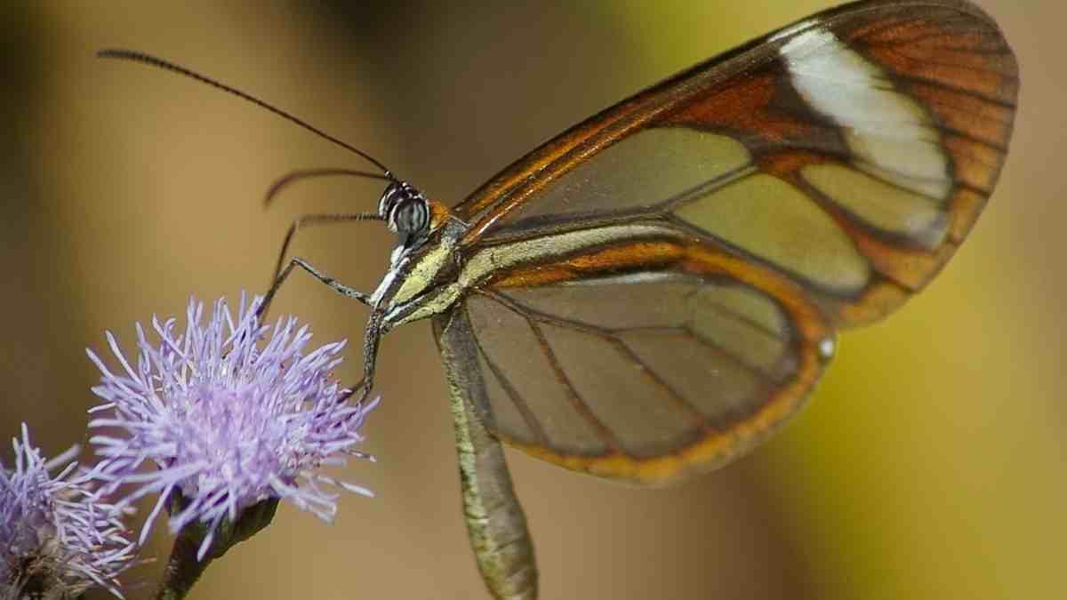 Insectos curiosos: la mariposa de cristal