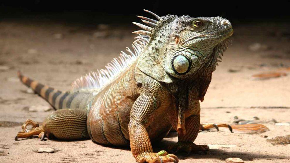 Enfermedades contagia un reptil
